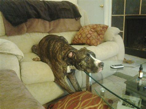 dog watching tv on couch 19 awkward dogs losing the battle with human furniture