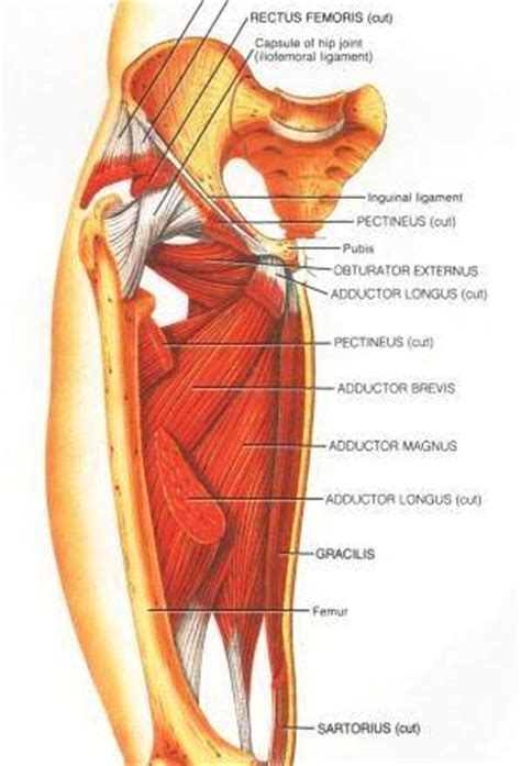 pulled groin diagram trigger points in the adductors the forgotten muscles