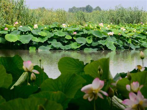 fiori di loto mantova parco mincio galleria fotografica grazie fiori di loto