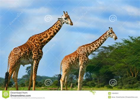 imagenes de jirafas salvajes familia de jirafas salvajes imagen de archivo imagen