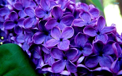 lilacs flowers lilac flowers top easy backyard garden decor design