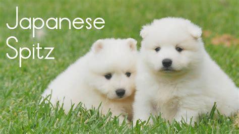 spitz puppy japanese spitz puppies for sale chevromist kennels