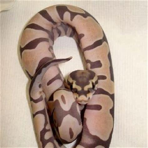 ball python heat l scaleless ball python piton bolas pinterest python