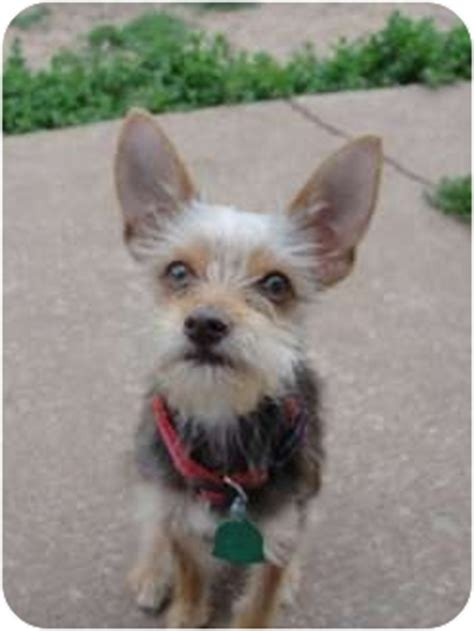 miniature pinscher yorkie todd adopted verona nj yorkie terrier miniature pinscher mix