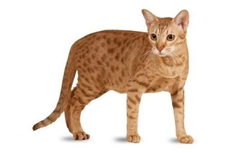 The 25 Most Popular Cat Breeds   CatTime