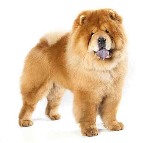 chow breed chow chow breed large petmania