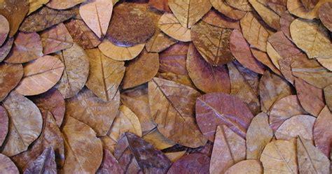 Daun Ketapang Kering Untuk Ikan Cupang manfaat dan cara pengolahan daun ketapang kering untuk