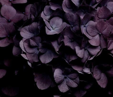Hortensia Purple purple hydrangeas for my
