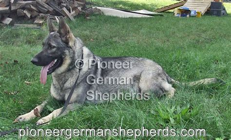 silver german shepherd silver german shepherd pictures