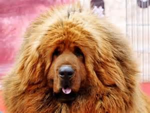 dogs that look like lions mastiff that looks like a breeds picture