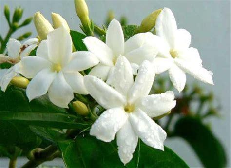 jual bibit tanaman bunga melati jasmine  lapak