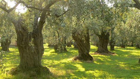 olive tree wallpaper olive trees wallpaper 359864