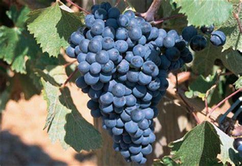 imagenes de uvas tintas tipos de uvas tintas