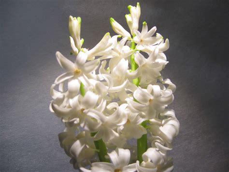fiore giacinto il giacinto 232 un fiore di co dizionario fiori a