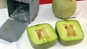 Pupuk Kalsium Yang Bagus resep agar buah melon memiliki rasa manis tanaman bunga hias