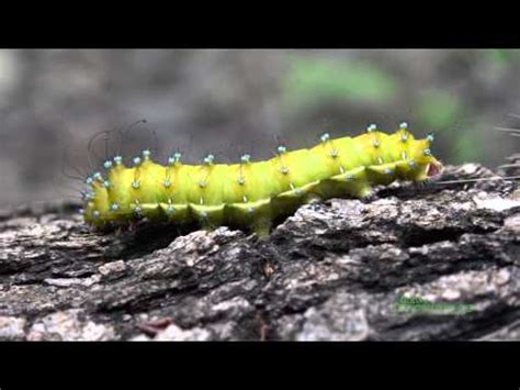 patterns in nature documentary aristotle s silkworm saturnia pyri in endemic