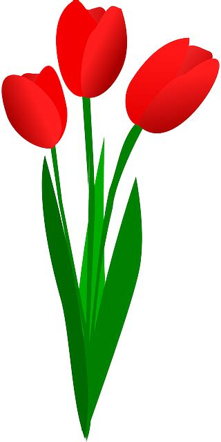 tulips flowers red  vector graphic  pixabay