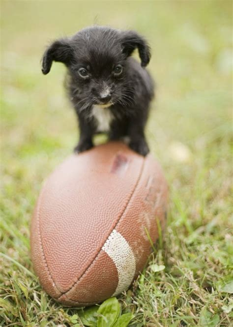 tiny puppy these 35 tiny dogs will make you if they re even dogs
