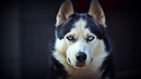 puppy photography 1080p wallpapers hd wallpapers high siberian husky wallpapers wallpaper cave