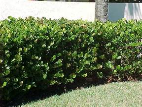 privacy hedge plant florida rachael edwards
