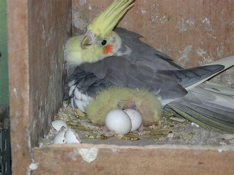 pappagallo calopsite alimentazione riproduzione calopsitte