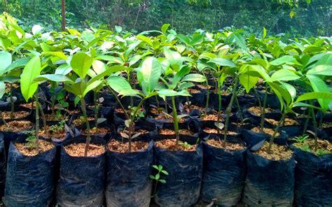 Bibit Manggis tanaman manggis akan terus dikembangkan kundur news