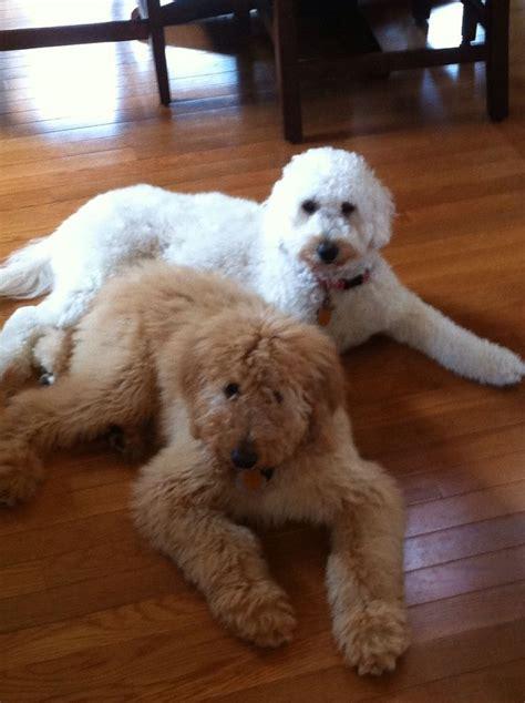 f1b goldendoodle puppies standard f1b goldendoodles brewer s goldendoodles sheepadoodles
