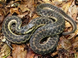 Garden Snake South Florida Garter Snake Florida Eco Travel Guide