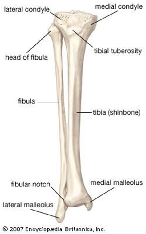 inner side of shin bone appendicular skeleton lab anatomy and cell biology 2210