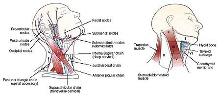 glands in the neck and throat diagram pictures cancerous lymph nodes in neck anatomy diagram