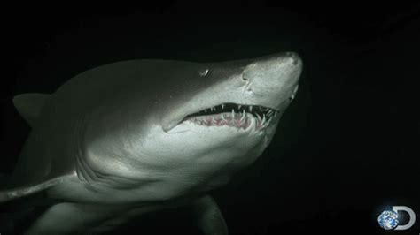Gif Animals Science Sharks Biology Marine Biology Behavior - sand tiger shark gifs on giphy