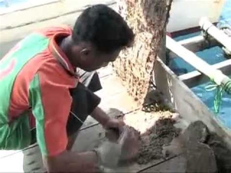 Mutiara Kerang Air Laut budidaya kerang mutiara