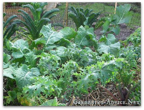 Organic Vegetable Gardening Tips Vegetable Garden Advice