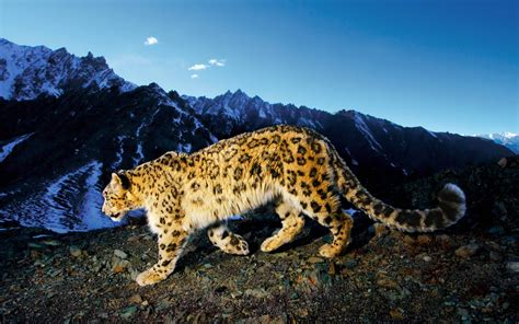 wallpaper mac leopard mac os x snow leopard wallpapers hd wallpaper cave
