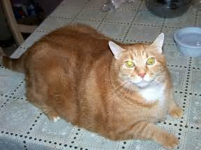 simba fattest cat ever becca project flickr