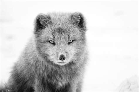 fox breed arctic fox animal literature
