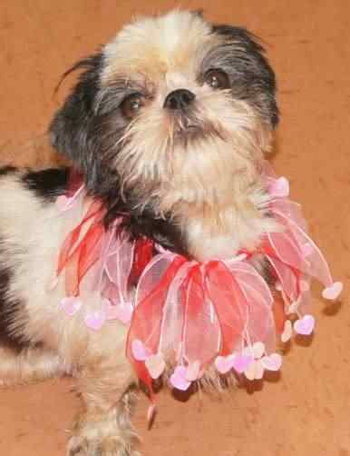spca shih tzu flock to nj shelter to adopt 63 shih tzus rescued from breeder news