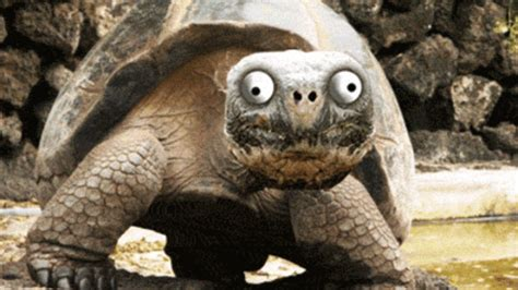 funny turtle gifs find & share on giphy