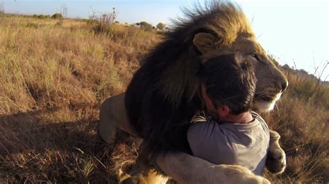 Man tries to hug a wild lion you won t believe what happens next