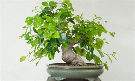 indoor plants india indian nursery ficus exporter retailer and supplier in