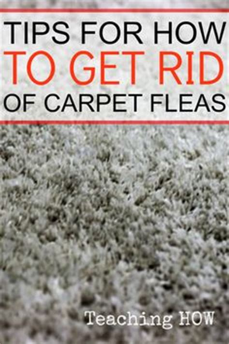 How To Get Rid Of Fleas In Carpet And Upholstery tips on how to get rid of gophers