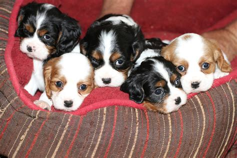 cavalier king charles spaniel puppy for sale phoenixcavaliers puppies for sale phoenixcavaliers