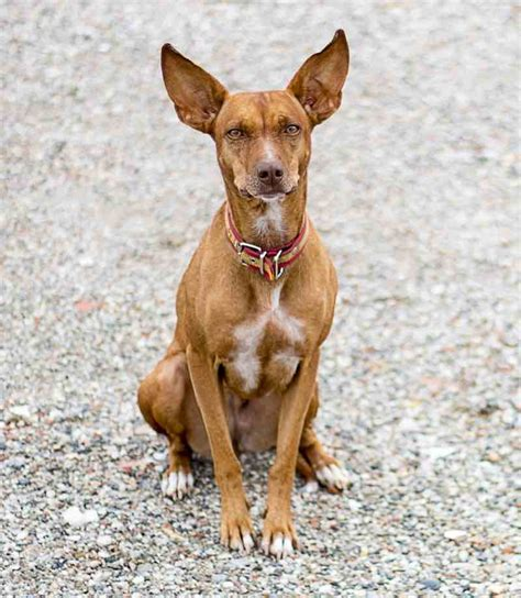 pharaoh hound puppies pharaoh hound breed information and images k9 research lab
