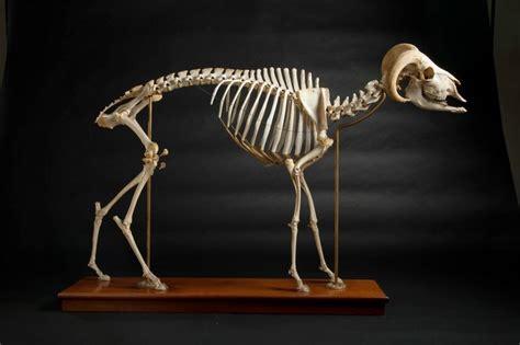 rams horn ram skeletons  reference