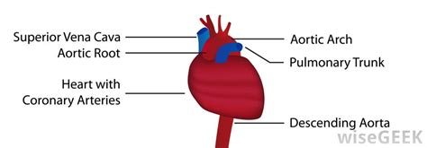 diagram of the aorta the last section of the digestive system diabetes inc