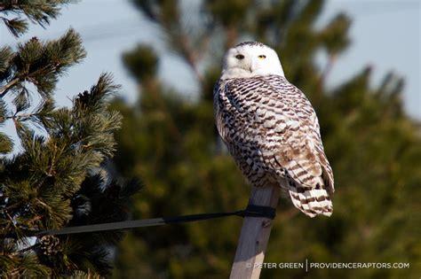 snowy owl in providence rhode island