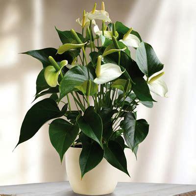 buy anthurium white plant   nursery