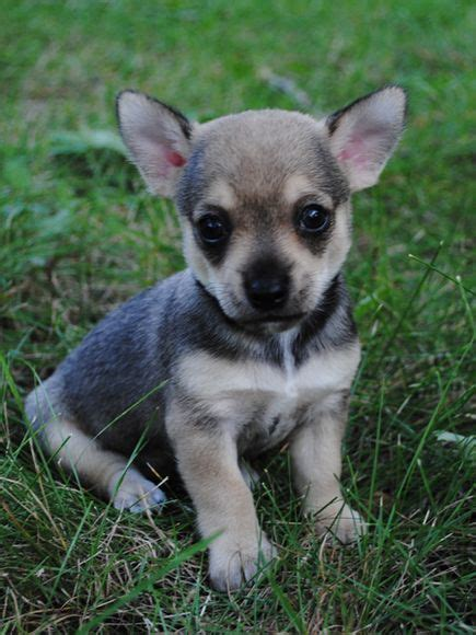 german shepherd chihuahua mix 109 best images about mixed breeds on siberian huskies australian
