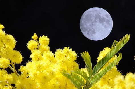 foto 8 marzo fiori 8 marzo non regalatemi mimose risveglio di una dea by