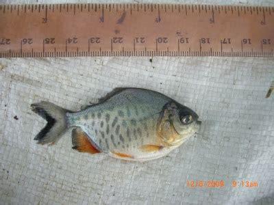 Bibit Ikan Bawal Sleman bibit ikan jual bibit ikan bawal dan gurami tempat bogor